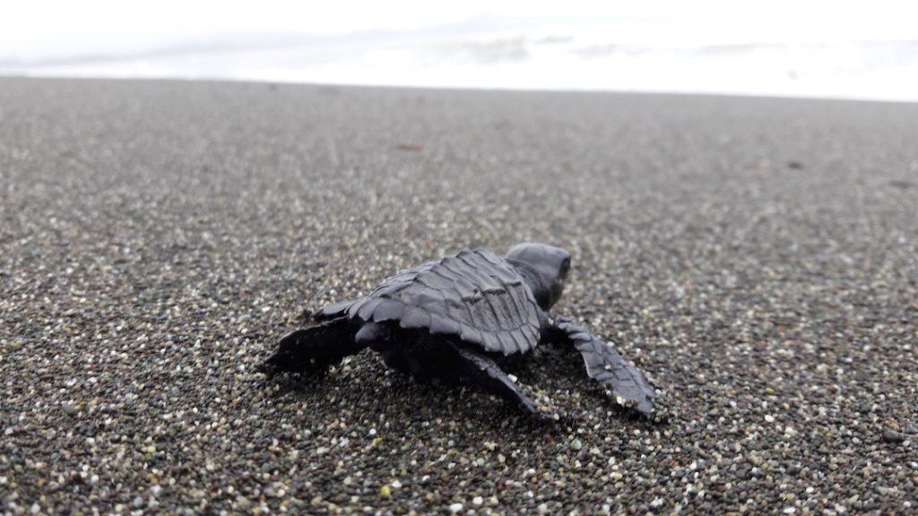conservacion de tortugas marinas en panama