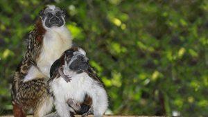 mono tamarino Costa Rica