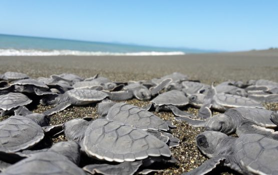 sea conservation turtles volunteer in panama