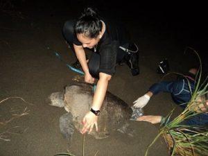 tortugas marinas panama