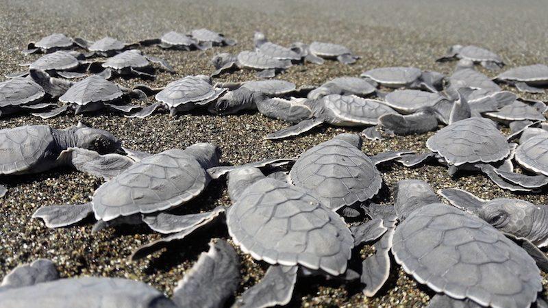 tortugas panamá