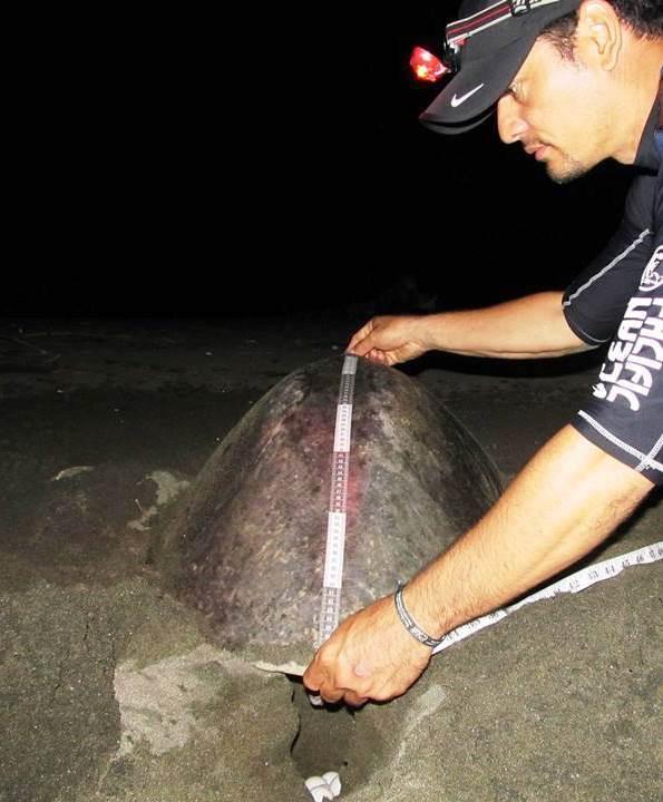 Tortuga marina lora en Panamá