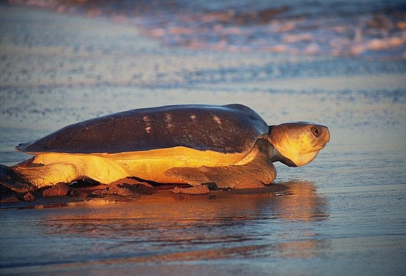 Tortuga plana en playa