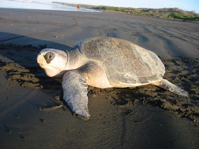 tortuga golfina en el pacifico