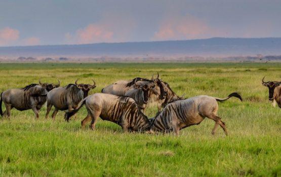 ¿Cómo organizar un safari en Kenia?