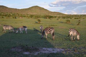 girafa safari Kenia